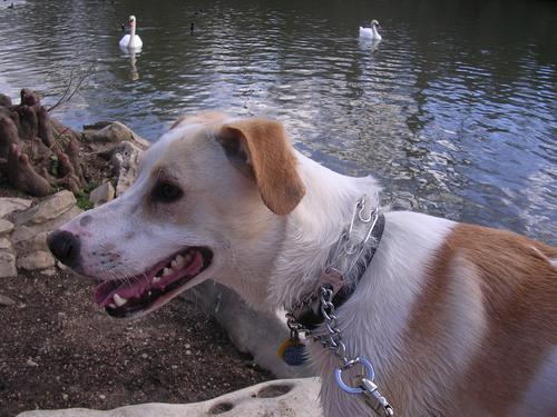 dog w/swans